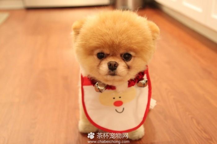 Boo 世界上最可爱的狗狗(七)