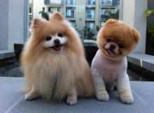 Boo 世界上最可爱的狗狗