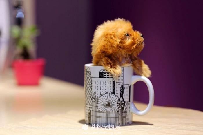茶杯泰迪犬