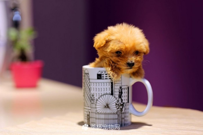 茶杯泰迪犬(三)