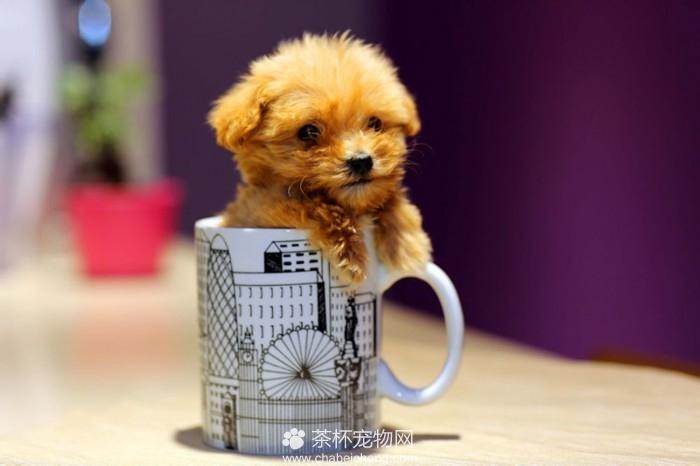 茶杯泰迪犬(四)