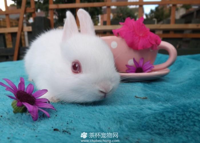 荷兰侏儒兔