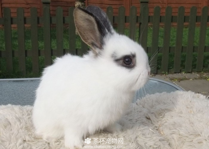 荷兰侏儒兔(二)