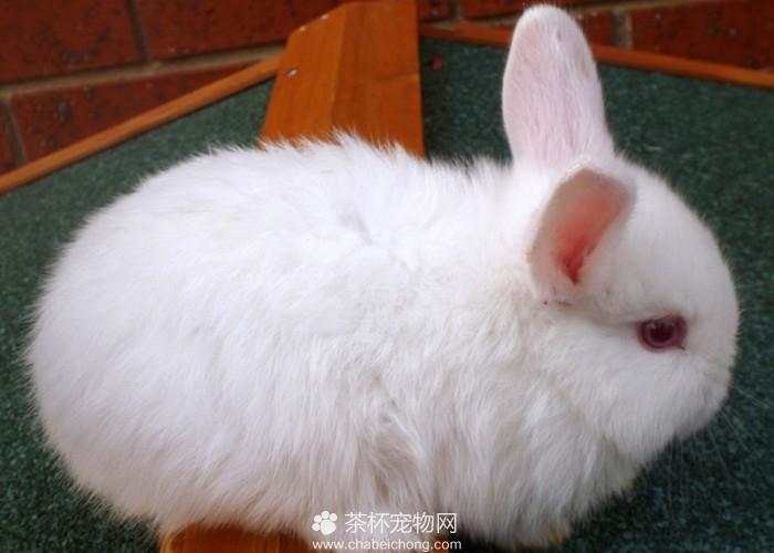 荷兰侏儒兔(三)