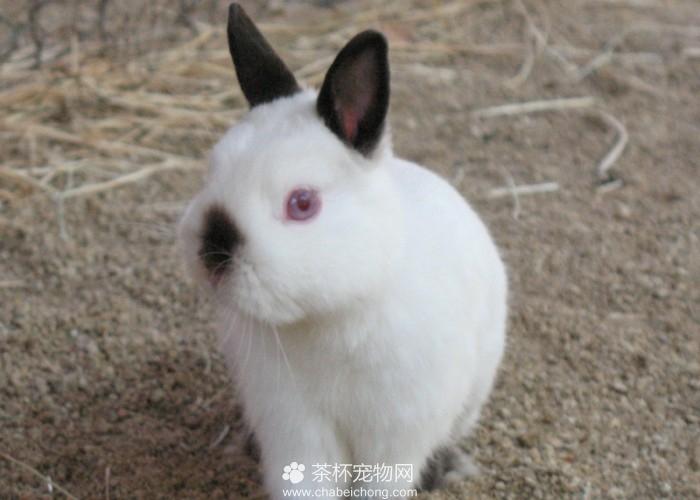 荷兰侏儒兔(四)