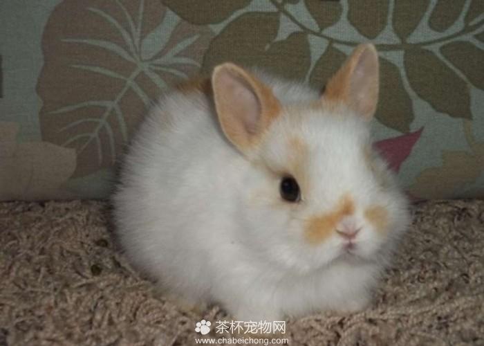 荷兰侏儒兔(五)
