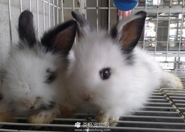 荷兰侏儒兔(六)