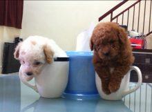 困屎了的茶杯泰迪犬