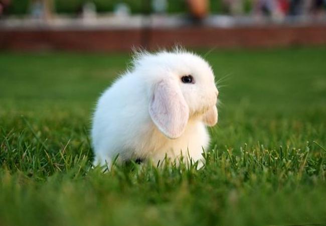 迷你垂耳兔(二)
