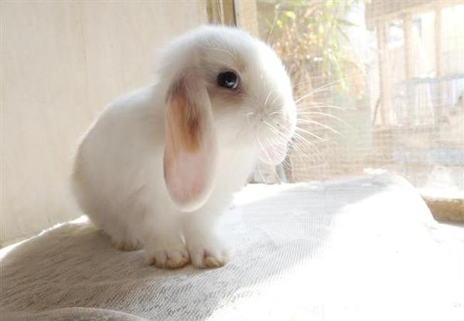 迷你垂耳兔(三)