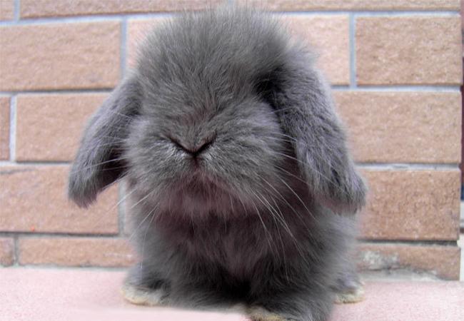 迷你垂耳兔(四)
