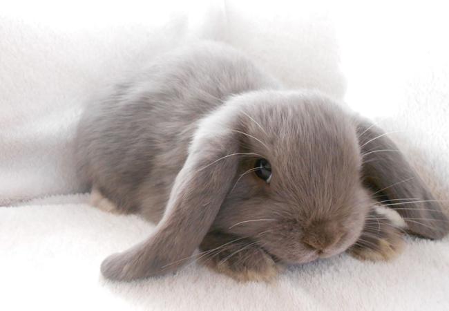 迷你垂耳兔(五)
