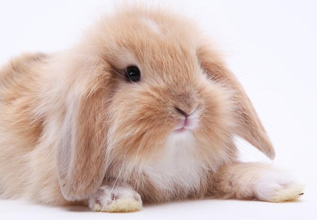 迷你垂耳兔(六)