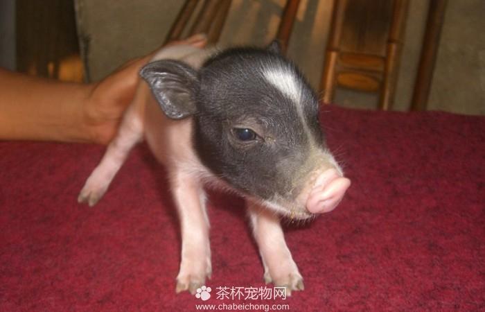 小香猪臭不臭