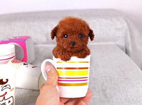 茶杯泰迪犬图片