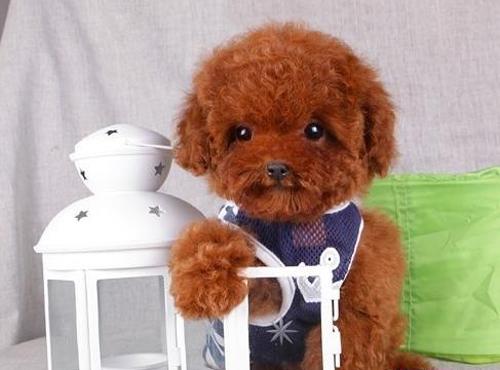 茶杯泰迪犬图片(八)