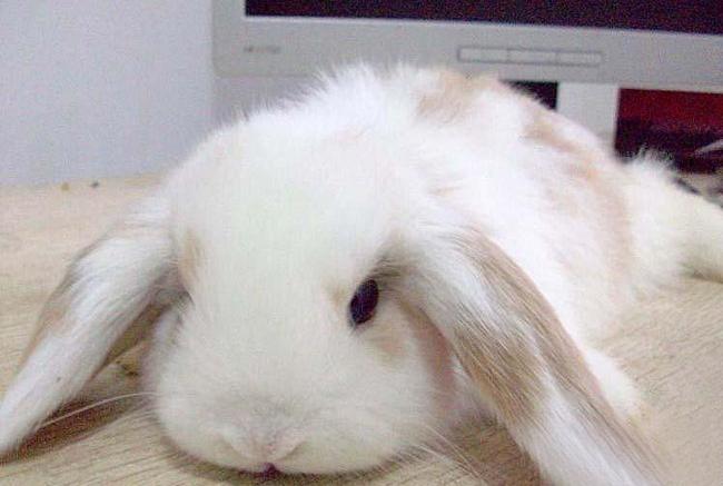 垂耳西施兔(二)