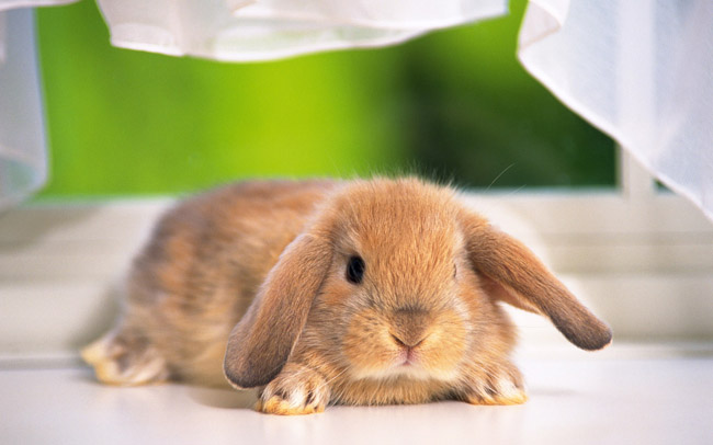 垂耳西施兔(三)
