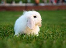 垂耳西施兔(四)
