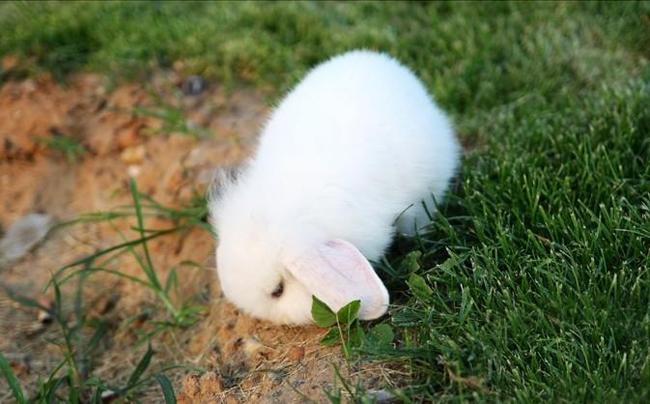 垂耳西施兔(五)