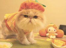 喜欢吃橙子的肥猫咪