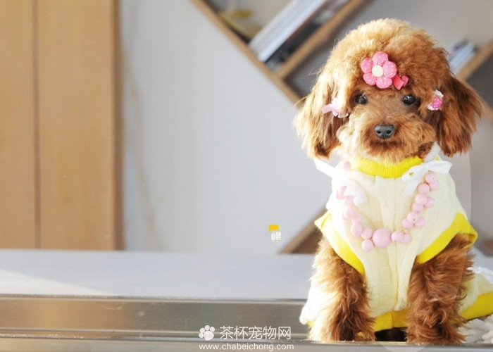泰迪犬的日常护理