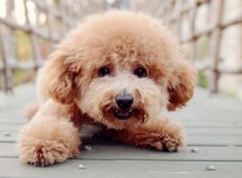 有范儿的泰迪犬(二)