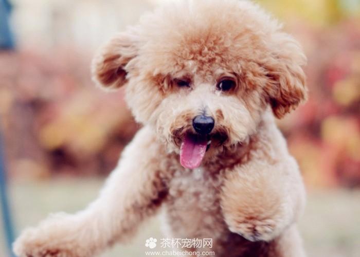 有范儿的泰迪犬(四)