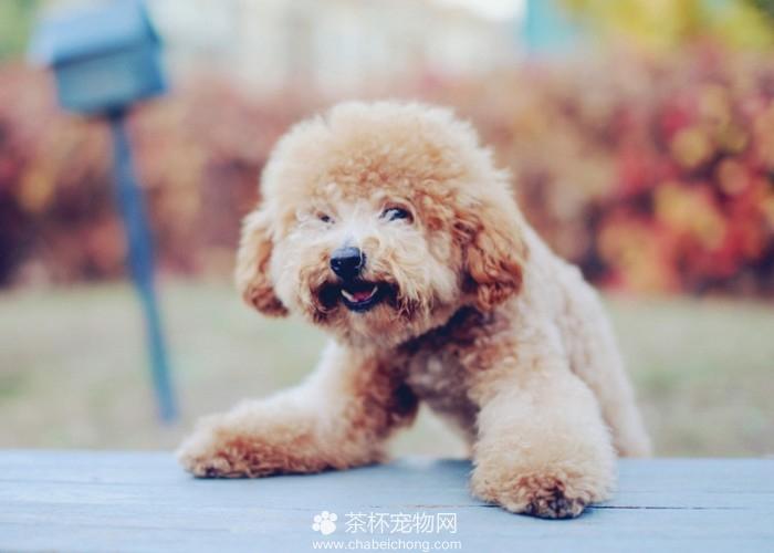 有范儿的泰迪犬(七)