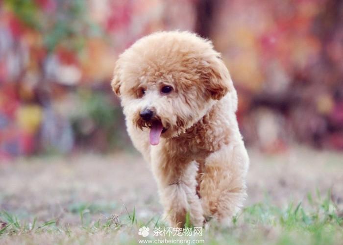 有范儿的泰迪犬(八)