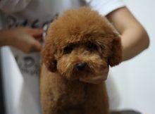 泰迪犬美容