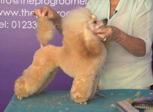 贵宾犬美容造型