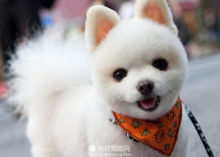 英式博美犬和美式博美犬的区别