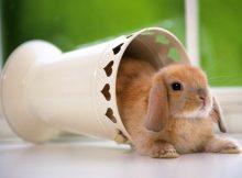 迷你垂耳兔