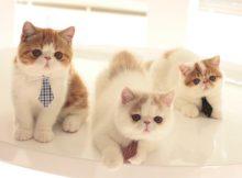 扎领带的猫咪