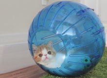 爱玩球球的猫咪