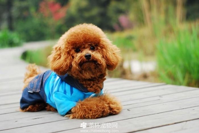 辨别泰迪犬是否纯种