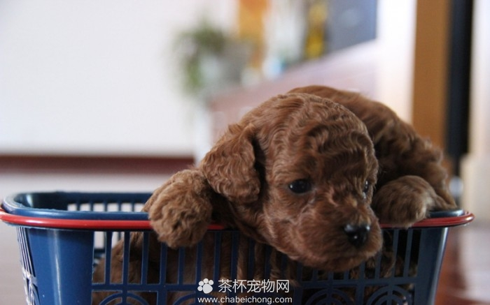 影响贵宾犬价格的因素