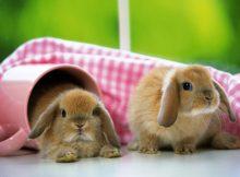 可爱迷你兔
