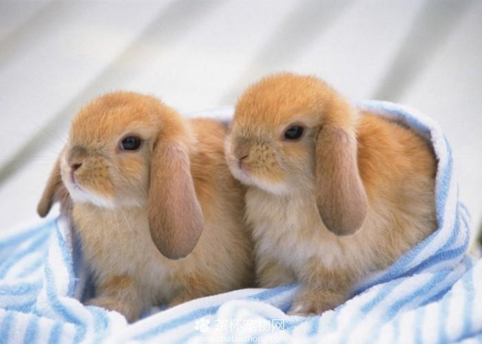 可爱迷你兔(二)