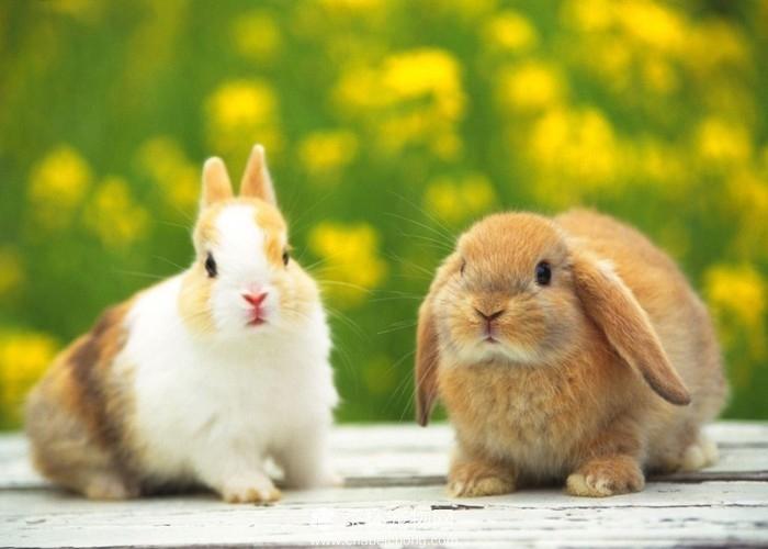 可爱迷你兔(四)