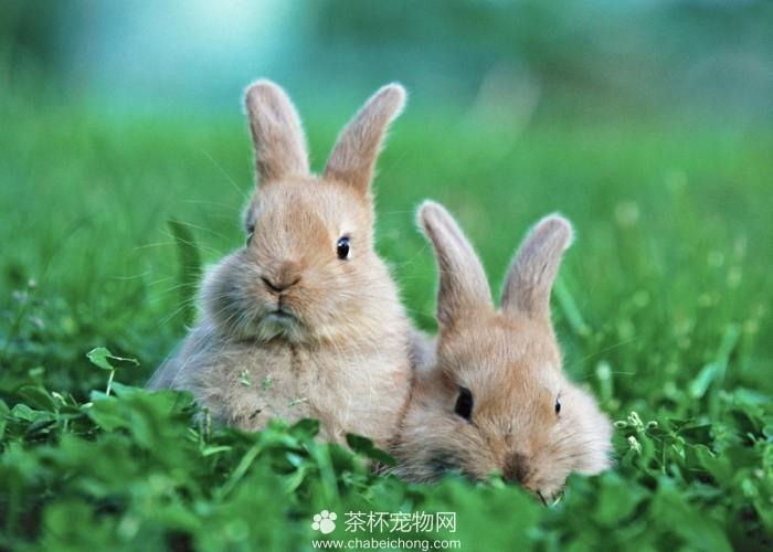 可爱迷你兔(五)