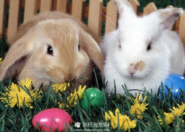 可爱迷你兔(六)