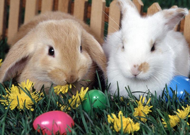 可爱的迷你兔图片大全 - 茶杯宠物网
