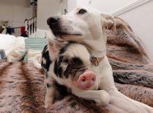 狗和猪的图片