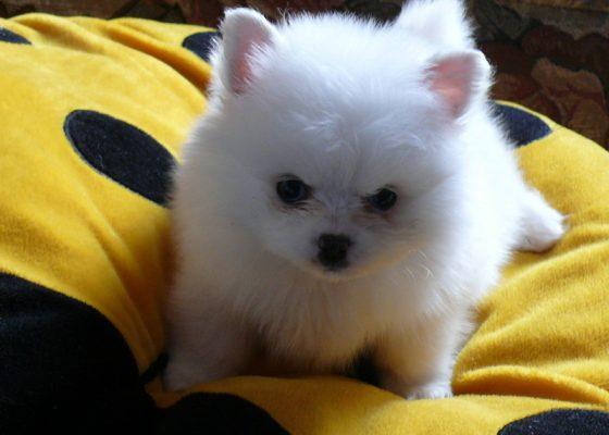 白色茶杯博美犬