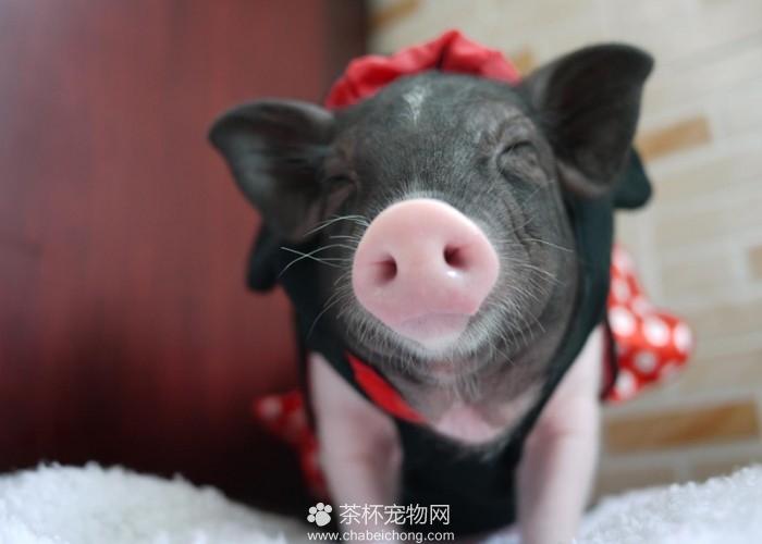 小香猪吃什么