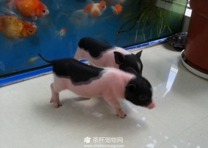 养迷你猪的10大好处