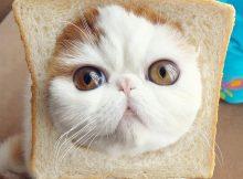 包子脸猫咪
