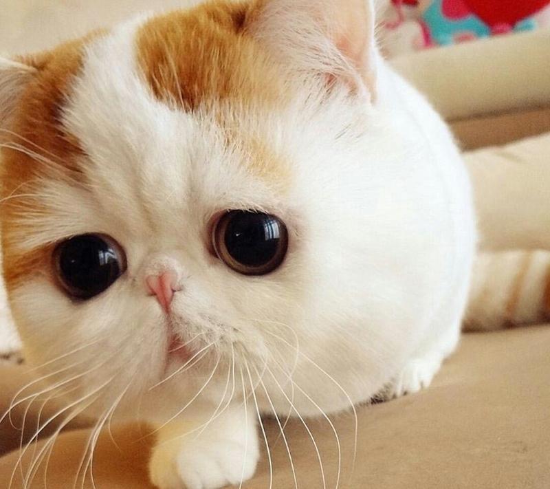 包子脸猫咪(二)